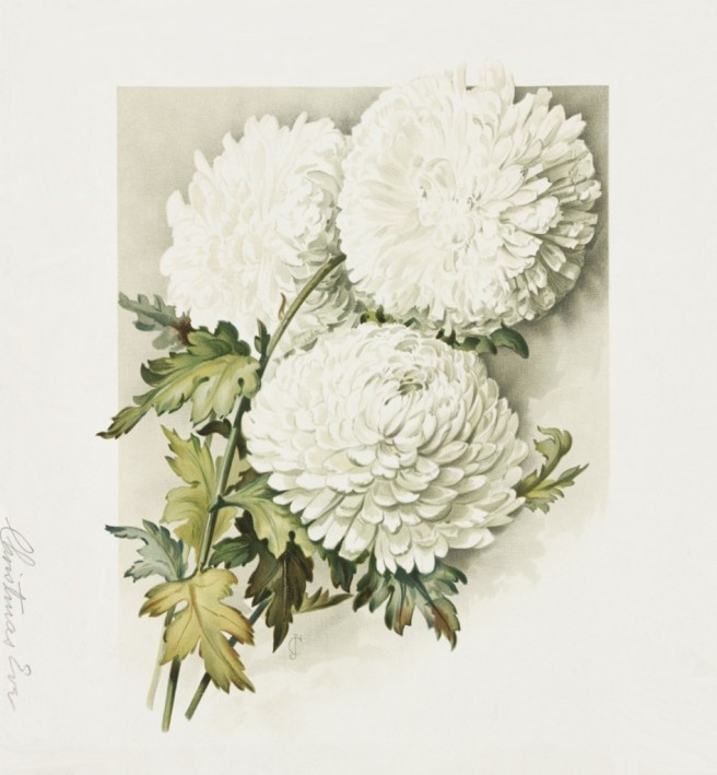 christmas-chrysanthemum-947x1024