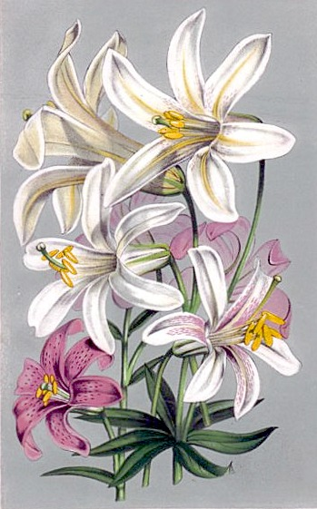 Lilium_washingtonianum